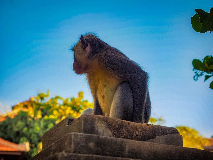 Thieving Monkey